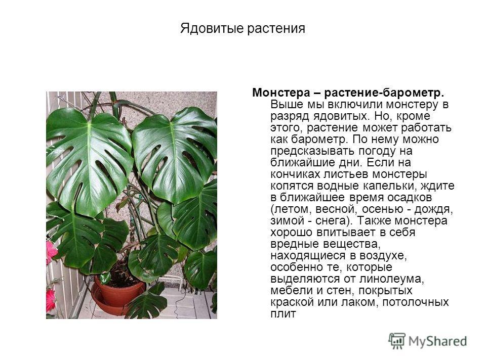 Ядовитые растения Монстера – растение-барометр. Выше мы включили монстеру в разряд ядовитых. Но, кроме этого, растение может работать как барометр. По нему можно предсказывать погоду на ближайшие дни. Если на кончиках листьев монстеры копятся водные