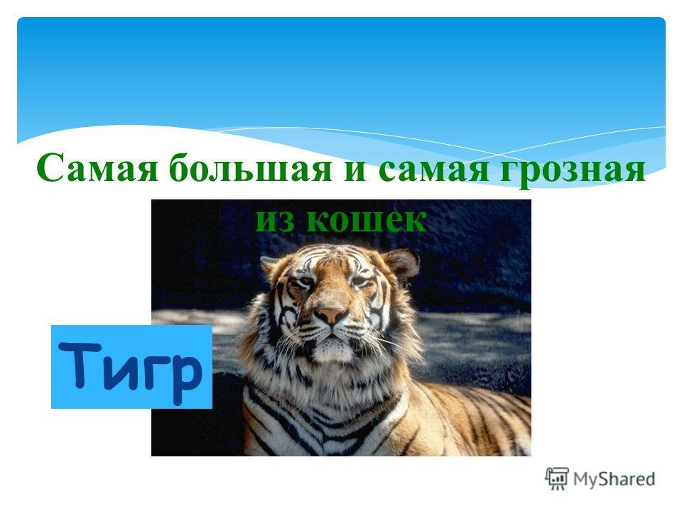 Самая большая и самая грозная из кошек Тигр