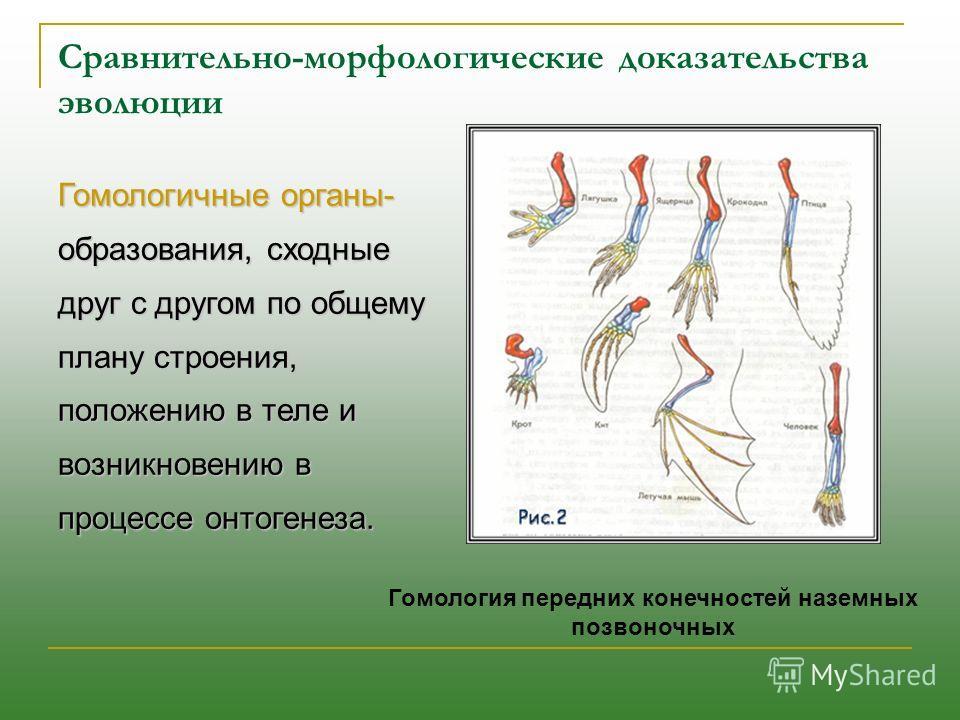 Гомологичные органы- образования, сходные друг с другом по общему плану строения, положению в теле и возникновению в процессе онтогенеза. Гомология передних конечностей наземных позвоночных Сравнительно-морфологические доказательства эволюции