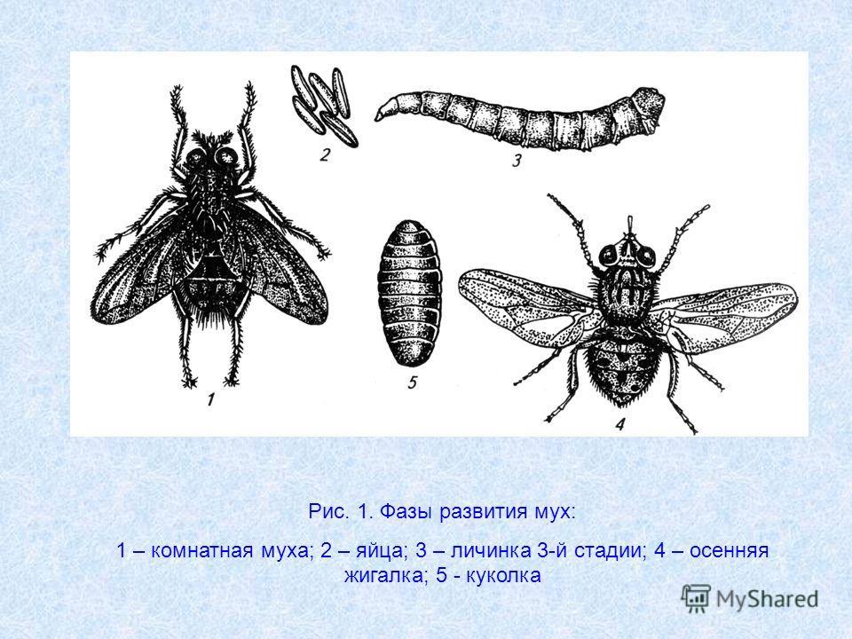 Рис. 1. Фазы развития мух: 1 – комнатная муха; 2 – яйца; 3 – личинка 3-й стадии; 4 – осенняя жигалка; 5 - куколка
