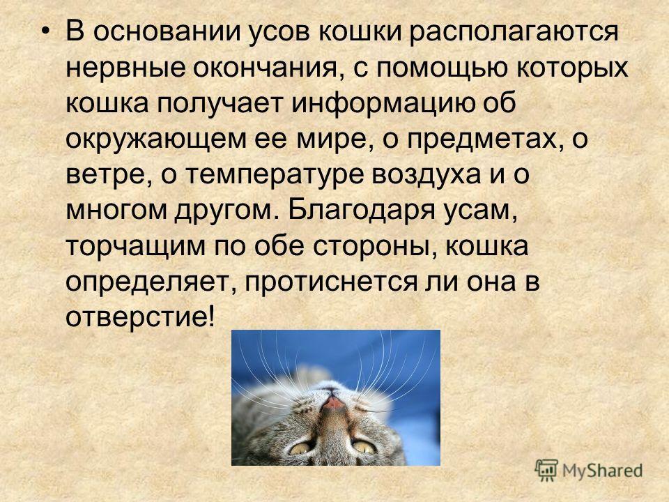 В основании усов кошки располагаются нервные окончания, с помощью которых кошка получает информацию об окружающем ее мире, о предметах, о ветре, о температуре воздуха и о многом другом. Благодаря усам, торчащим по обе стороны, кошка определяет, проти