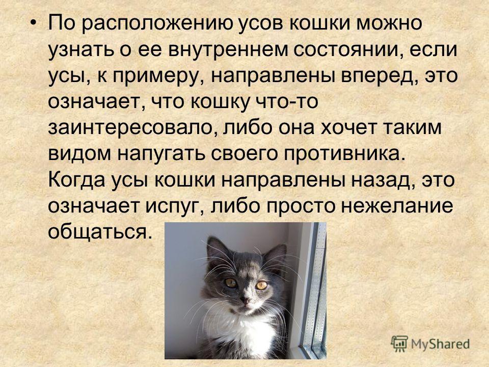 По расположению усов кошки можно узнать о ее внутреннем состоянии, если усы, к примеру, направлены вперед, это означает, что кошку что-то заинтересовало, либо она хочет таким видом напугать своего противника. Когда усы кошки направлены назад, это озн