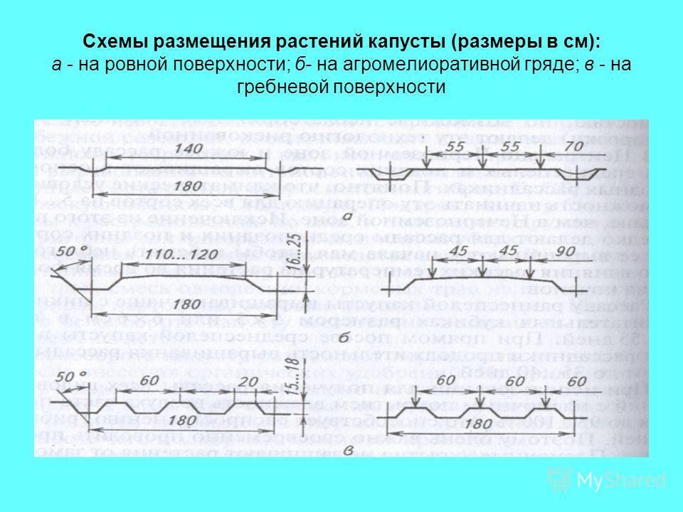 Схемы размещения растений капусты (размеры в см): а - на ровной поверхности; б- на агромелиоративной гряде; в - на гребневой поверхности