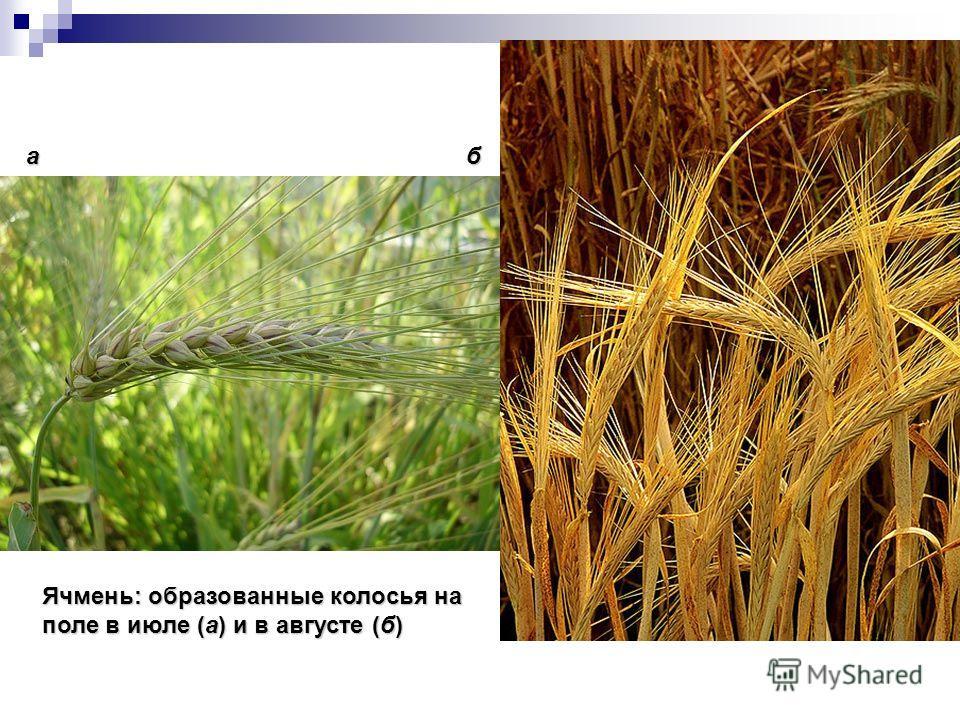 Ячмень: образованные колосья на поле в июле (а) и в августе (б) аб