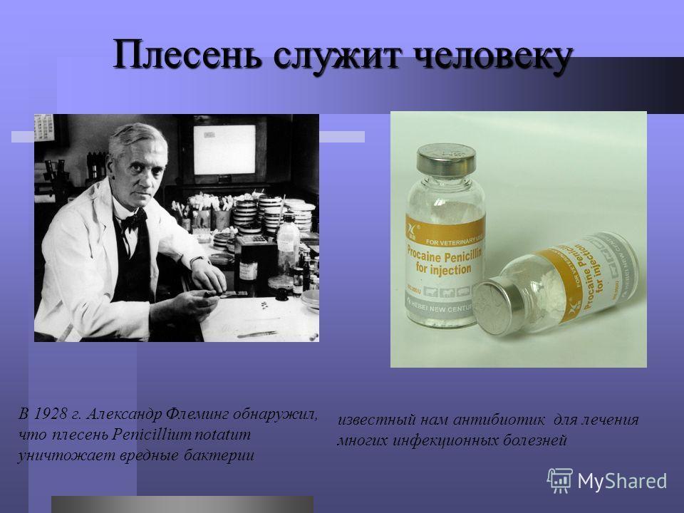 Плесень служит человеку В 1928 г. Александр Флеминг обнаружил, что плесень Penicillium notatum уничтожает вредные бактерии известный нам антибиотик для лечения многих инфекционных болезней