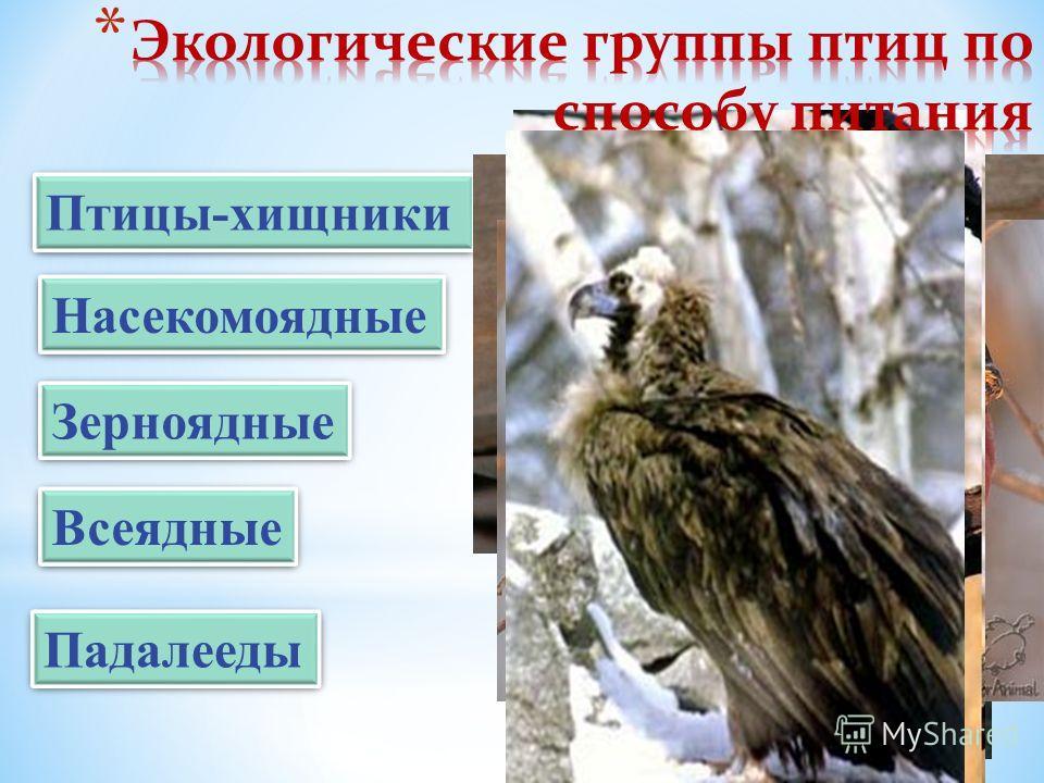Птицы-хищники Насекомоядные Зерноядные Всеядные Падалееды