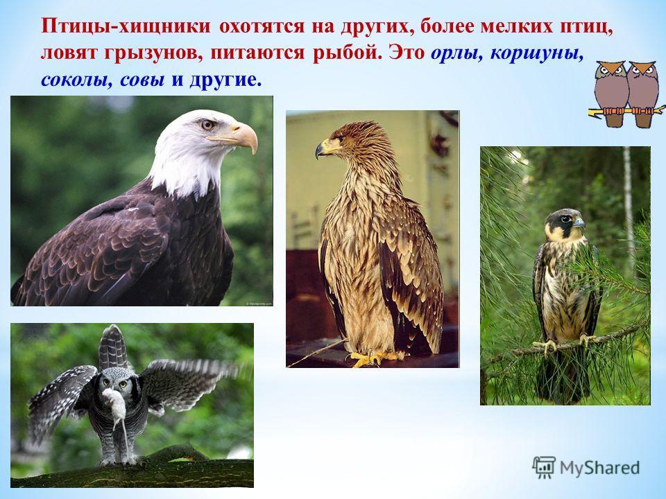 Птицы-хищники охотятся на других, более мелких птиц, ловят грызунов, питаются рыбой. Это орлы, коршуны, соколы, совы и другие.