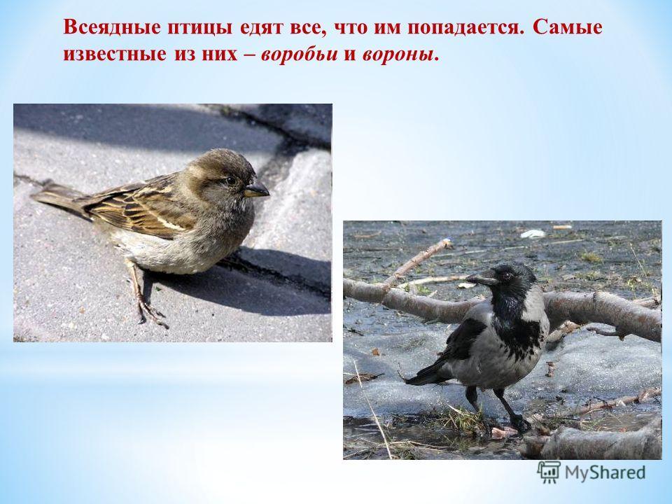 Всеядные птицы едят все, что им попадается. Самые известные из них – воробьи и вороны.