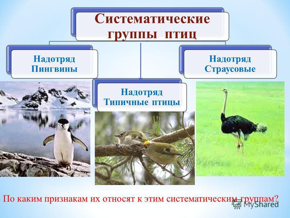 Систематические группы птиц Надотряд Пингвины Надотряд Страусовые Надотряд Типичные птицы По каким признакам их относят к этим систематическим группам?