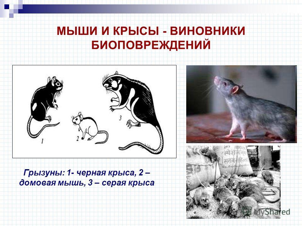МЫШИ И КРЫСЫ - ВИНОВНИКИ БИОПОВРЕЖДЕНИЙ Грызуны: 1- черная крыса, 2 – домовая мышь, 3 – серая крыса
