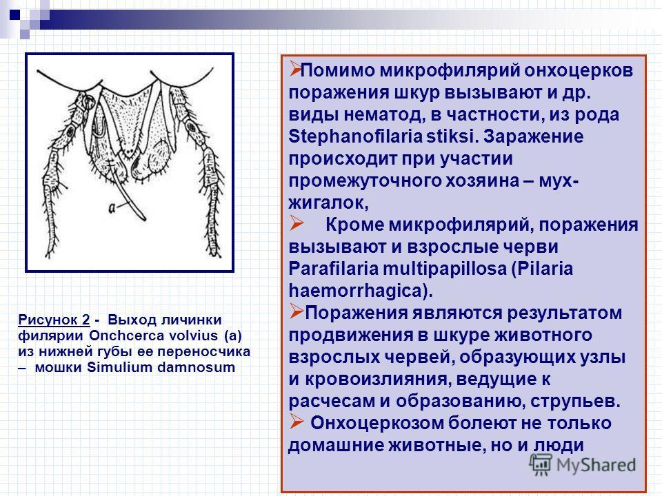 Рисунок 2 - Выход личинки филярии Onchcerca volvius (а) из нижней губы ее переносчика – мошки Simulium damnosum Помимо микрофилярий онхоцерков поражения шкур вызывают и др. виды нематод, в частности, из рода Stephanofilaria stiksi. Заражение происход