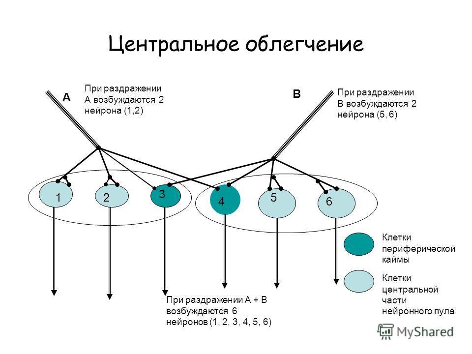 Центральное облегчение 12 3 4 5 6 А В При раздражении А возбуждаются 2 нейрона (1,2) При раздражении В возбуждаются 2 нейрона (5, 6) При раздражении А + В возбуждаются 6 нейронов (1, 2, 3, 4, 5, 6) Клетки периферической каймы Клетки центральной части