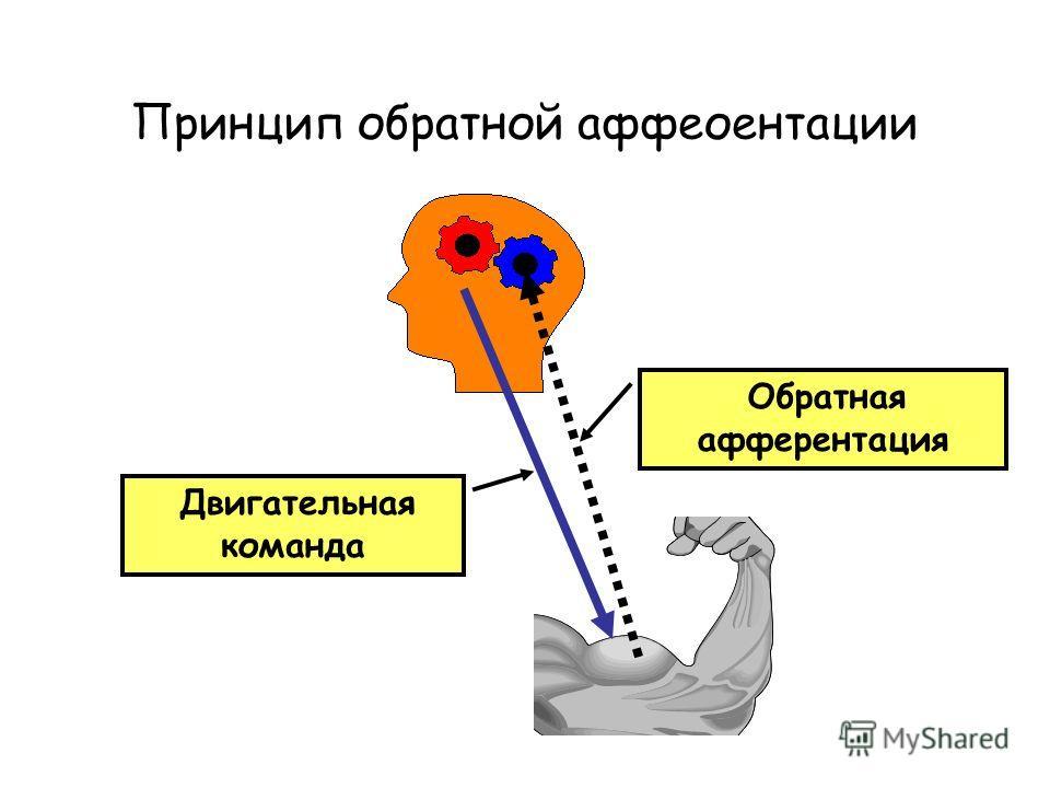 Принцип обратной аффеоентации Двигательная команда Обратная афферентация