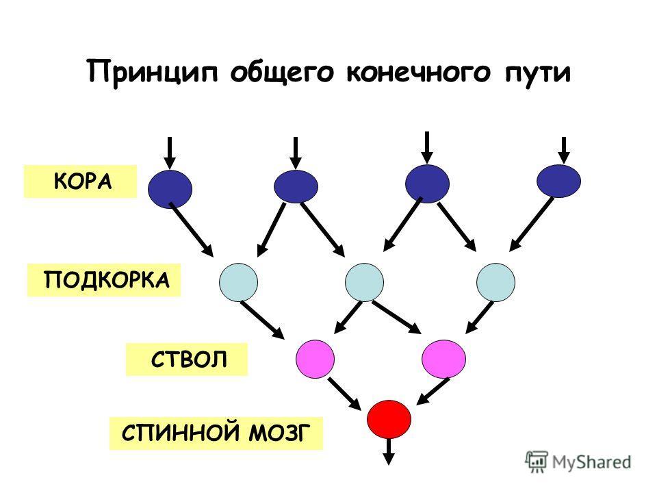 Принцип общего конечного пути КОРА ПОДКОРКА СТВОЛ СПИННОЙ МОЗГ