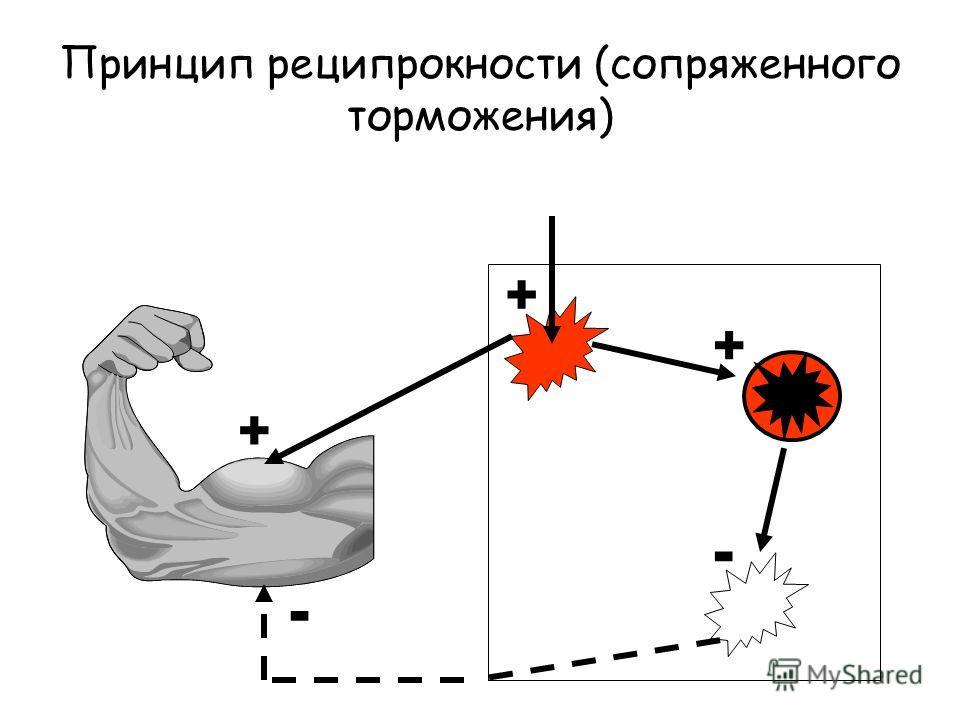 Принцип реципрокности (сопряженного торможения) + + - - +