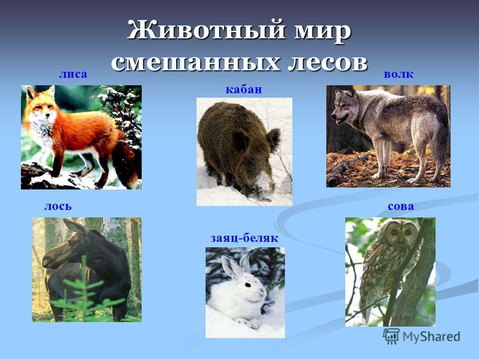 Животный мир смешанных лесов лиса кабан волк лосьсова заяц-беляк