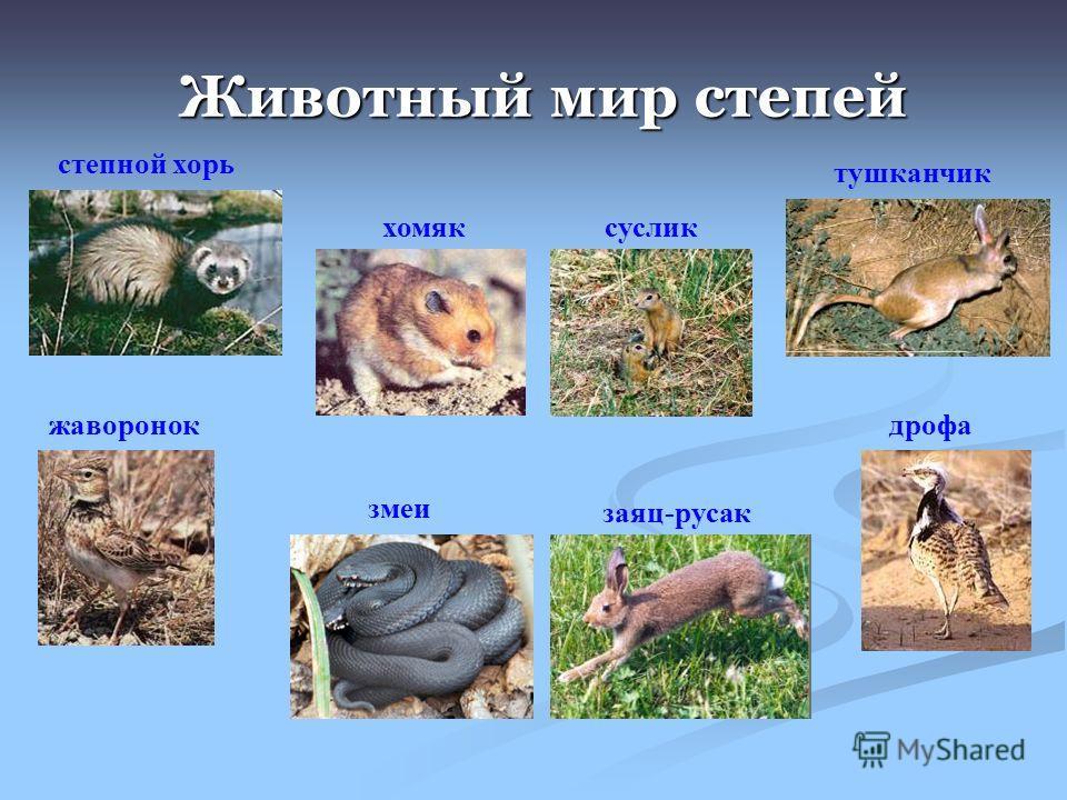 Животный мир степей степной хорь хомяксуслик тушканчик жаворонок змеи заяц-русак дрофа