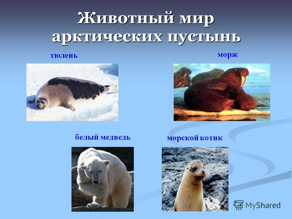 Животный мир арктических пустынь морж тюлень морской котик белый медведь