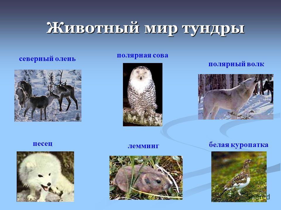 Животный мир тундры Животный мир тундры северный олень песец полярный волк белая куропатка полярная сова лемминг
