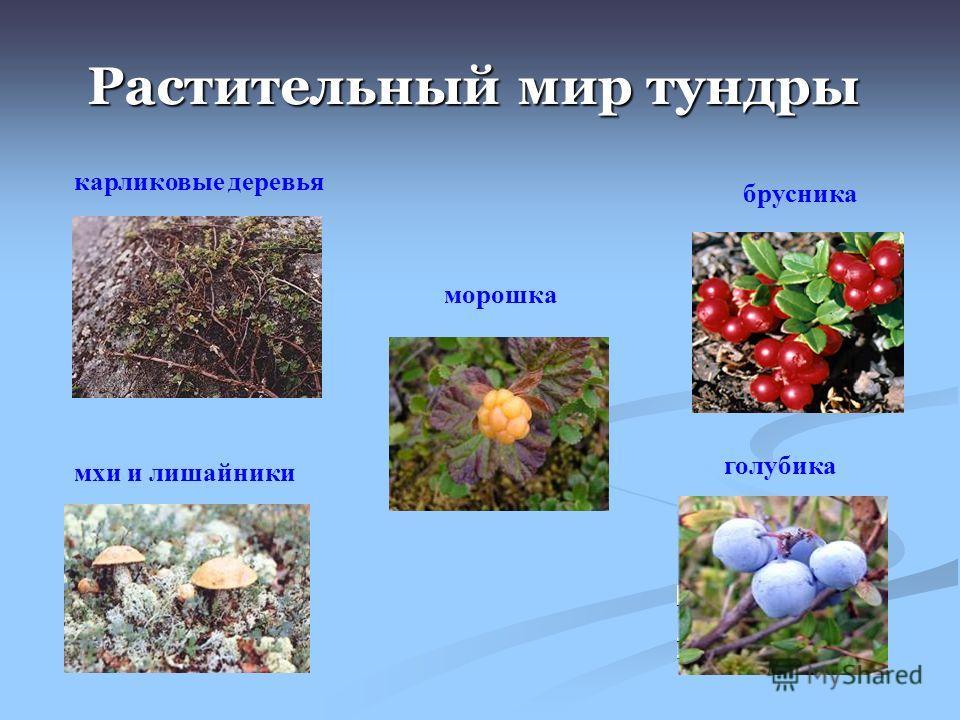 Растительный мир тундры карликовые деревья мхи и лишайники брусника морошка голубика