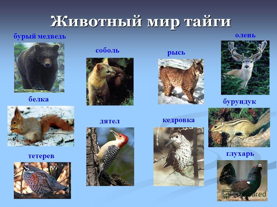Животный мир тайги бурый медведь белка соболь рысь олень бурундук тетерев глухарь дятел кедровка