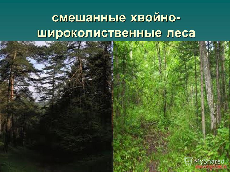 смешанные хвойно- широколиственные леса