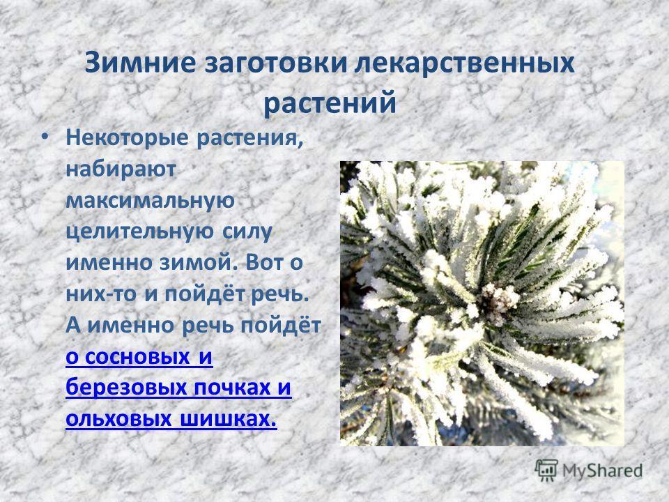Зимние заготовки лекарственных растений Некоторые растения, набирают максимальную целительную силу именно зимой. Вот о них-то и пойдёт речь. А именно речь пойдёт о сосновых и березовых почках и ольховых шишках. о сосновых и березовых почках и ольховы