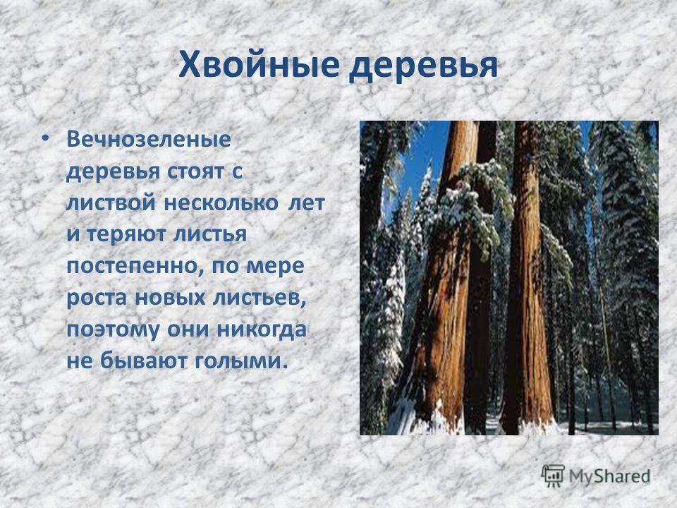 Хвойные деревья Вечнозеленые деревья стоят с листвой несколько лет и теряют листья постепенно, по мере роста новых листьев, поэтому они никогда не бывают голыми.