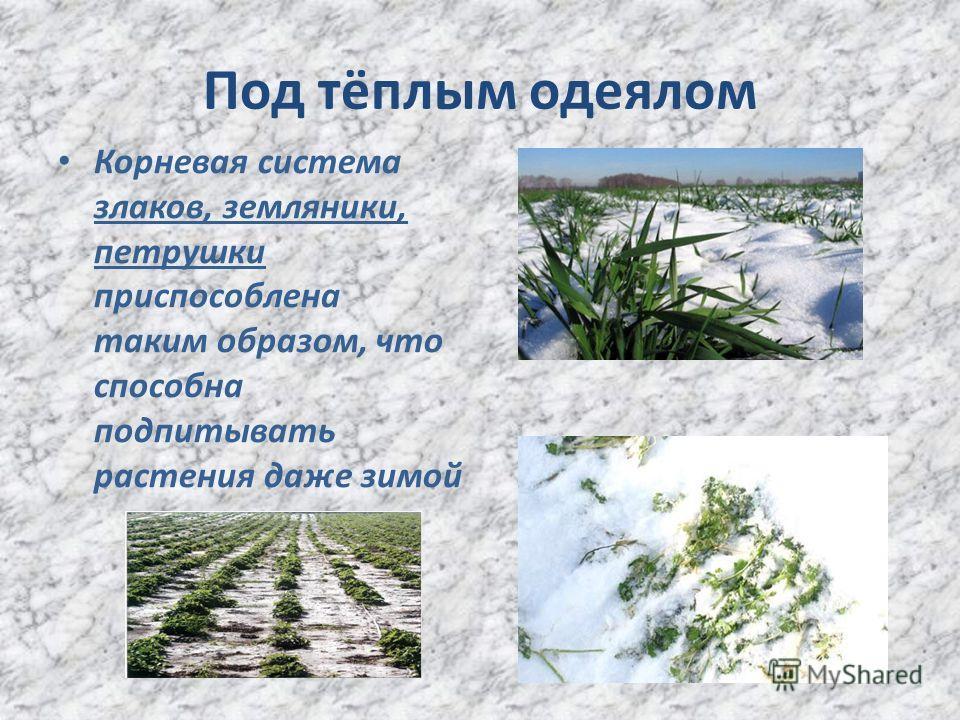 Под тёплым одеялом Корневая система злаков, земляники, петрушки приспособлена таким образом, что способна подпитывать растения даже зимой