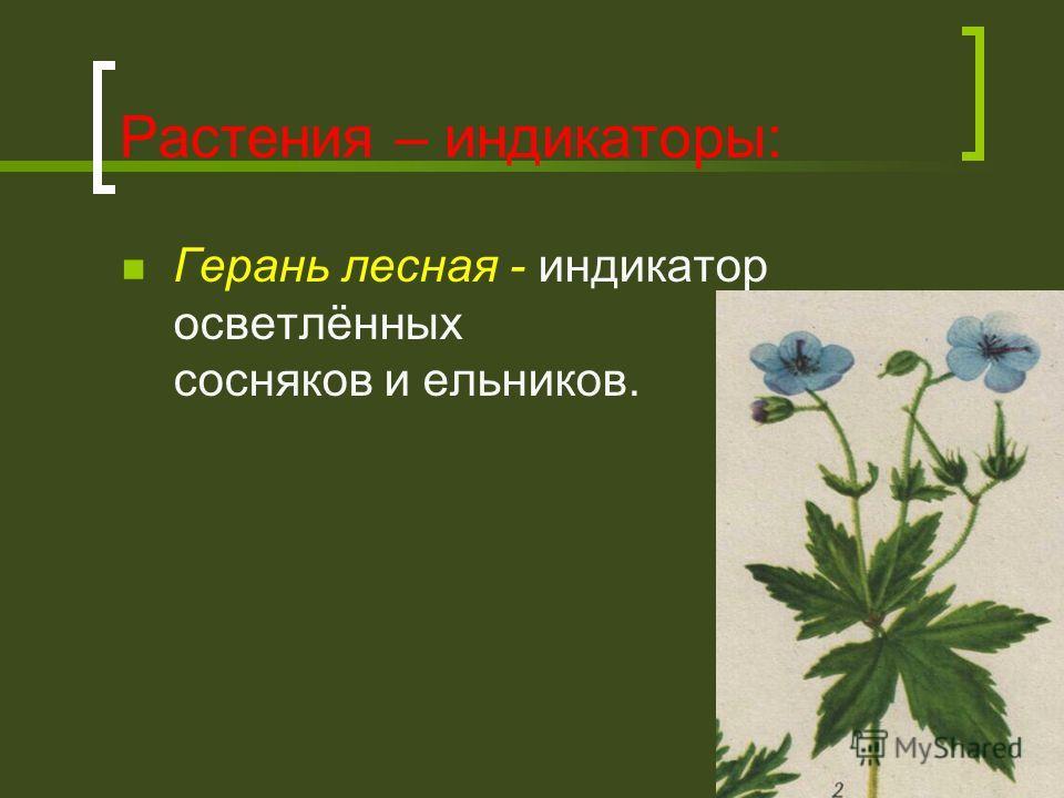Растения – индикаторы: Герань лесная - индикатор осветлённых сосняков и ельников.
