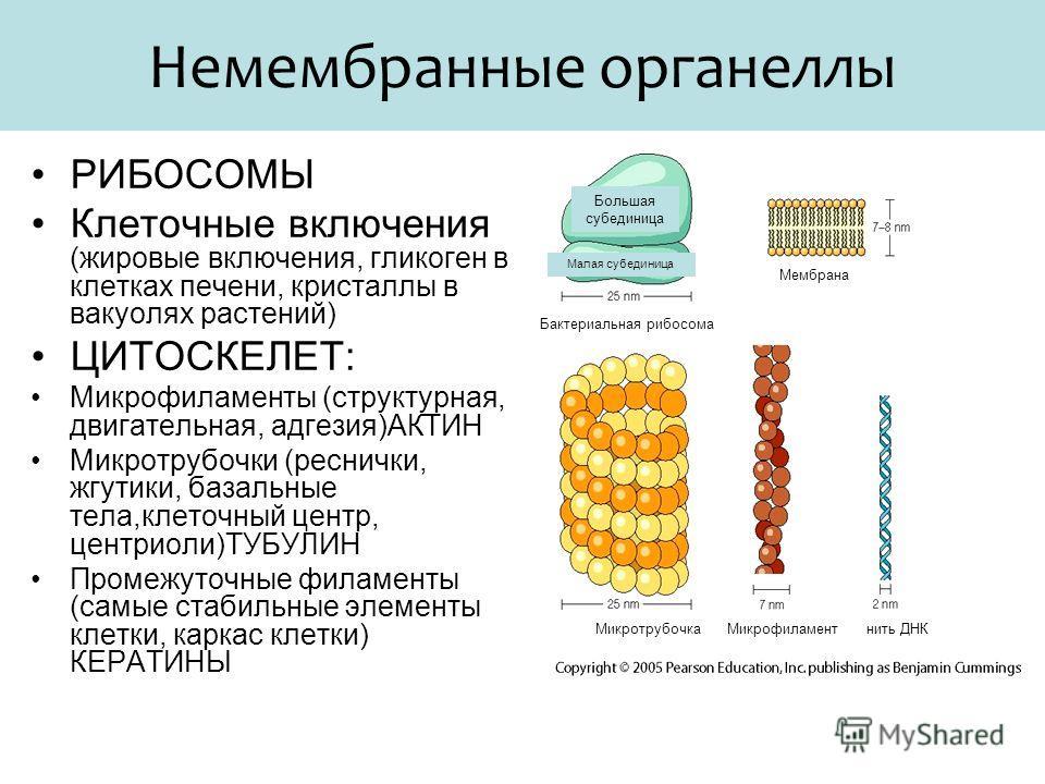 Немембранные органеллы РИБОСОМЫ Клеточные включения (жировые включения, гликоген в клетках печени, кристаллы в вакуолях растений) ЦИТОСКЕЛЕТ: Микрофиламенты (структурная, двигательная, адгезия)АКТИН Микротрубочки (реснички, жгутики, базальные тела,кл