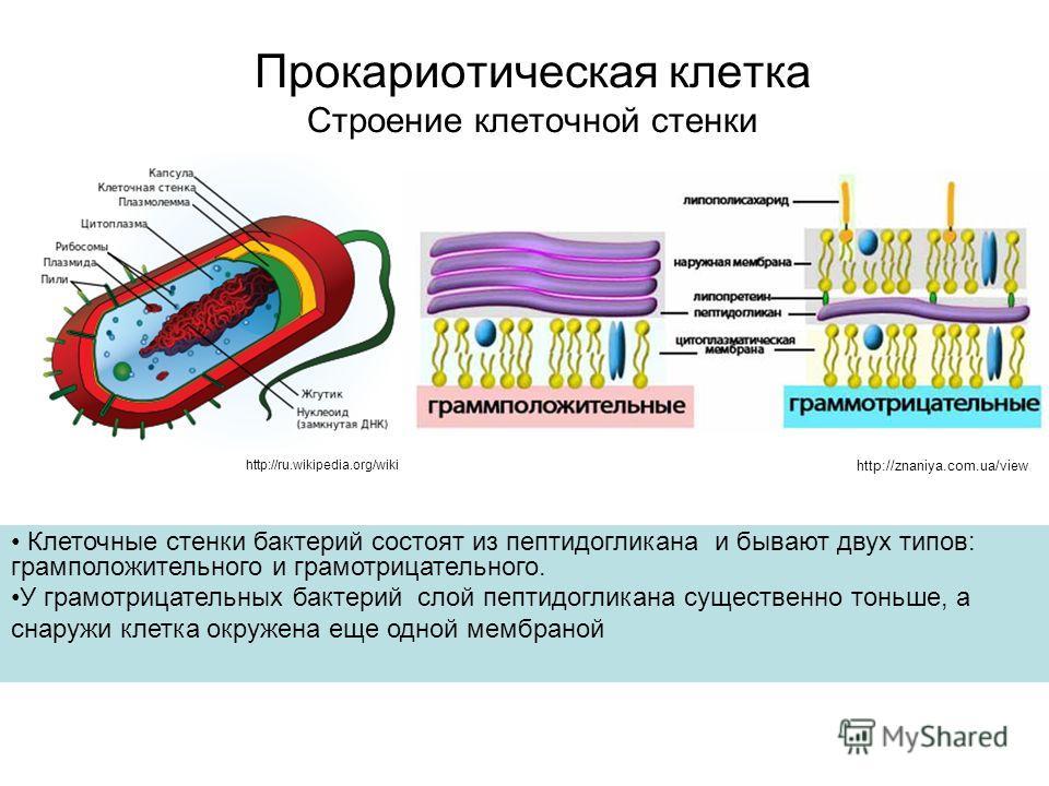Прокариотическая клетка Строение клеточной стенки http://ru.wikipedia.org/wiki Клеточные стенки бактерий состоят из пептидогликана и бывают двух типов: грамположительного и грамотрицательного. У грамотрицательных бактерий слой пептидогликана существе