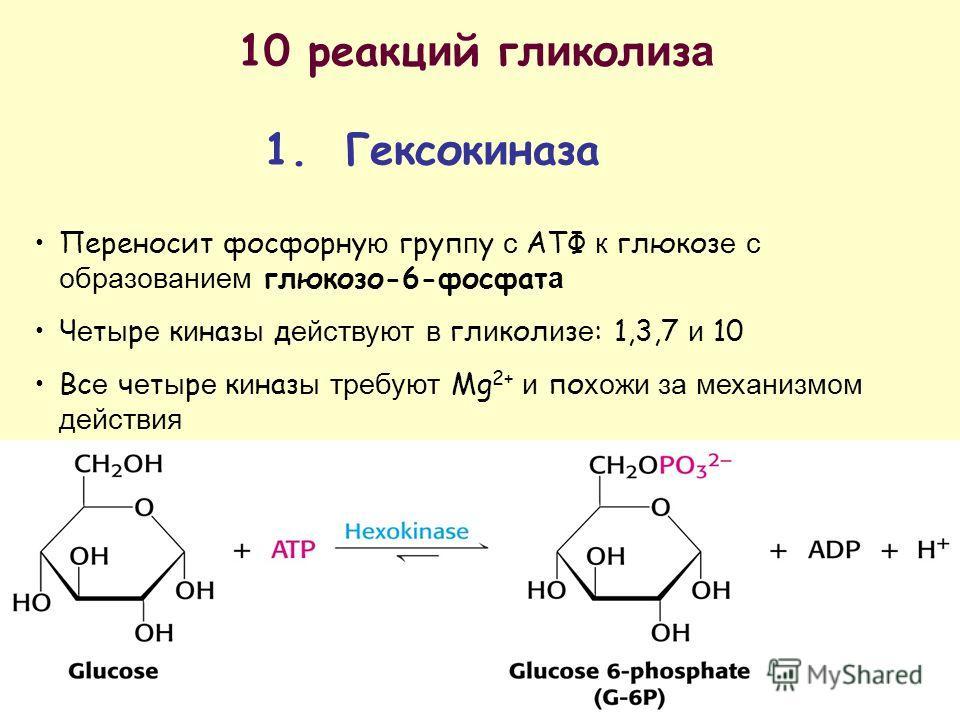 10 реакц и й гл и кол и з а 1. Гексок и наза Переносит фосфорну ю груп п у с АТФ к глюкоз е с образованием глюкозо-6-фосфат а Ч е т ы р е к и наз ы д ействуют в гл и кол и з е : 1,3,7 и 10 Вс е ч е т ы р е к и наз ы требуют Mg 2+ и по хожи за механиз