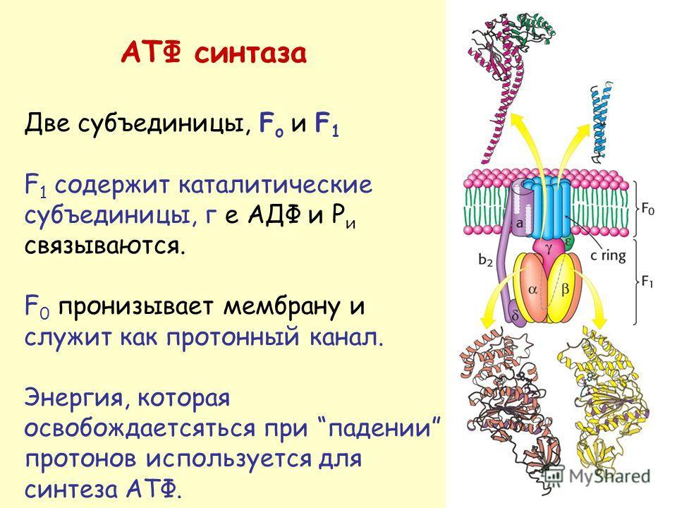 АТФ синтаза Две субъединицы, F o и F 1 F 1 содержит каталитические субъединицы, г е АДФ и P и связываются. F 0 пронизывает мембрану и служит как протонный канал. Энергия, которая освобождаетсяться при падении протонов используется для синтеза АТФ.