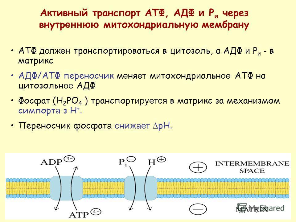 АТФ должен транспорт иро ват ь ся в цитозоль, а АДФ и P и - в матрикс AДФ/ATФ перенос ч ик м е ня ет м и тохондр и альн ое ATФ на цитозольн ое АДФ Фосфат (H 2 PO 4 - ) транспорт ируется в матрикс за механ и змом симпорт а з H +. Перенос ч и к фосфат
