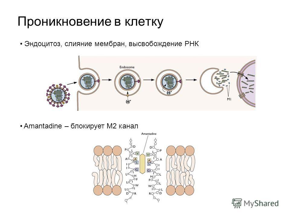 Проникновение в клетку Эндоцитоз, слияние мембран, высвобождение РНК Amantadine – блокирует M2 канал