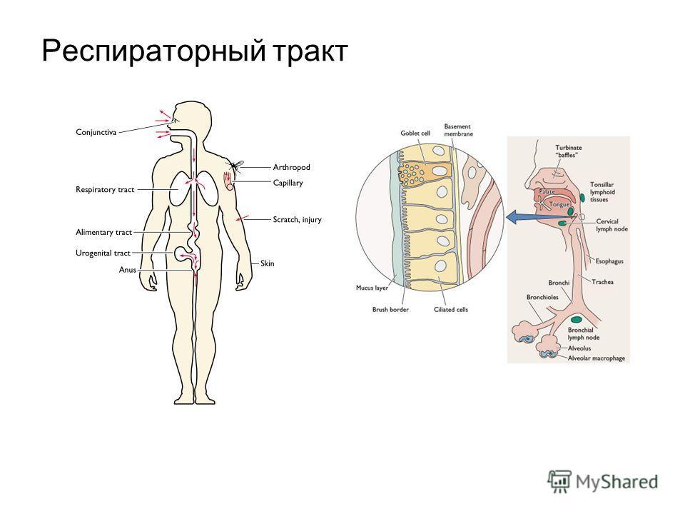 Респираторный тракт