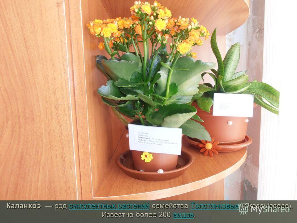 Каланхо́э род суккулентных растений семейства Толстянковые (Crassulaceae). Известно более 200 видов. Каланхо́э род суккулентных растений семейства Толстянковые (Crassulaceae). Известно более 200 видов.суккулентных растенийТолстянковыевидовсуккулентны