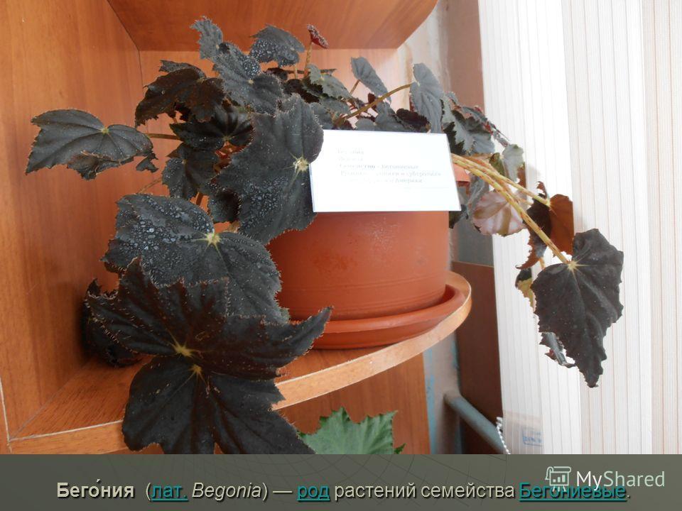 Бего́ния (лат. Begonia) род растений семейства Бегониевые. Бего́ния (лат. Begonia) род растений семейства Бегониевые.лат.родБегониевыелат.родБегониевые