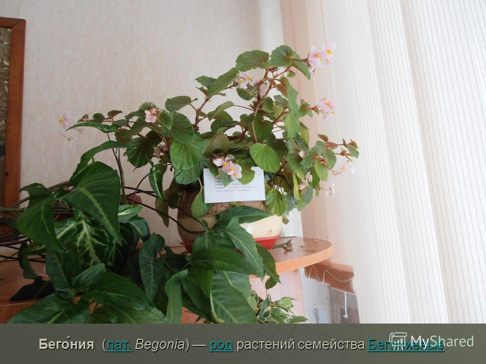 Бего́ния (лат. Begonia) род растений семейства Бегониевые. лат.родБегониевыелат.родБегониевые