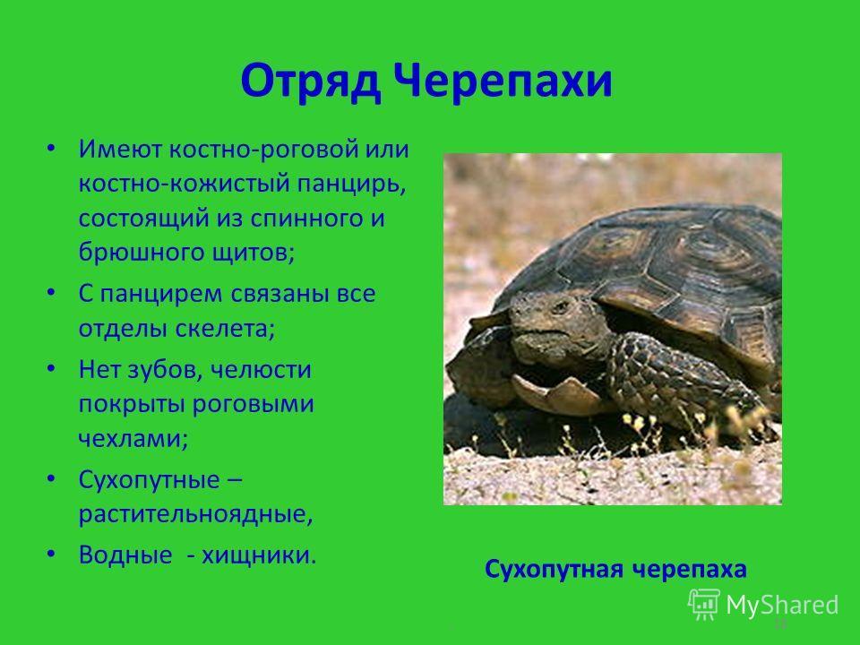 Отряд Черепахи Имеют костно-роговой или костно-кожистый панцирь, состоящий из спинного и брюшного щитов; С панцирем связаны все отделы скелета; Нет зубов, челюсти покрыты роговыми чехлами; Сухопутные – растительноядные, Водные - хищники.. 18 Сухопутн