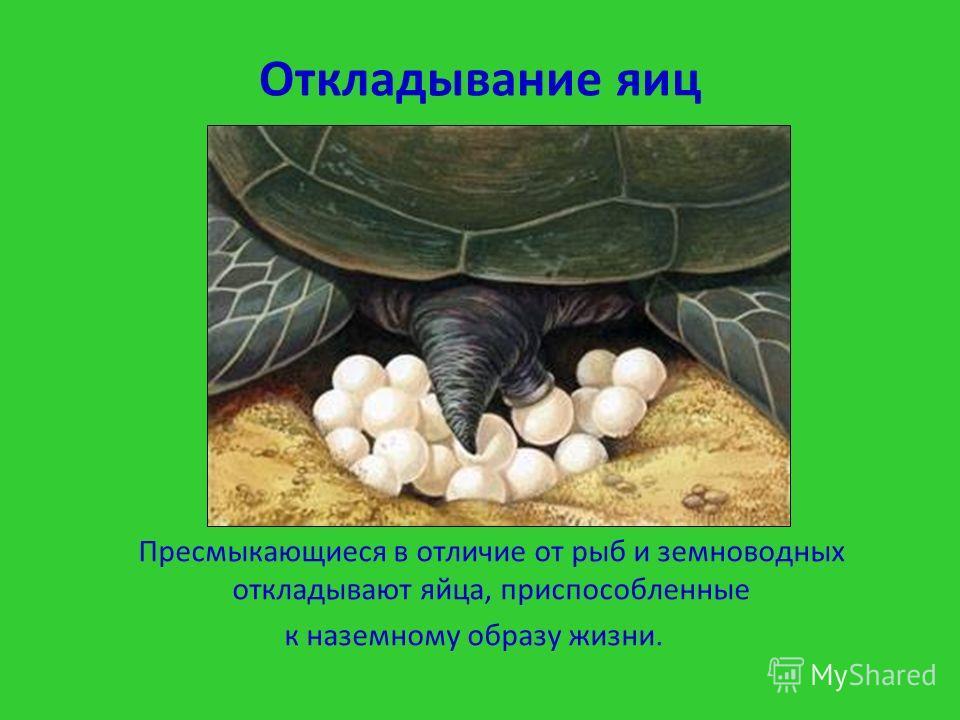 Откладывание яиц Пресмыкающиеся в отличие от рыб и земноводных откладывают яйца, приспособленные к наземному образу жизни.