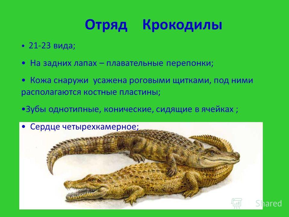 21-23 вида; На задних лапах – плавательные перепонки; Кожа снаружи усажена роговыми щитками, под ними располагаются костные пластины; Зубы однотипные, конические, сидящие в ячейках ; Сердце четырехкамерное; Отряд Крокодилы