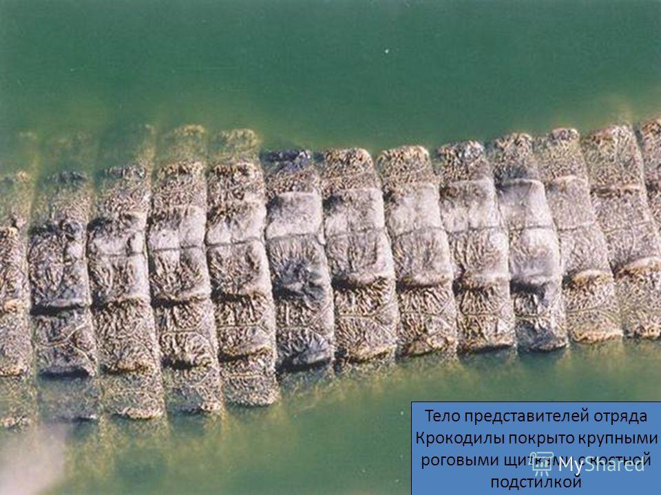 Тело представителей отряда Крокодилы покрыто крупными роговыми щитками с костной подстилкой