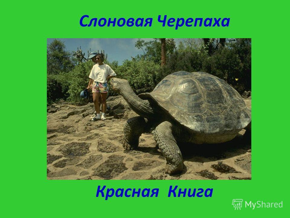 Слоновая Черепаха Красная Книга