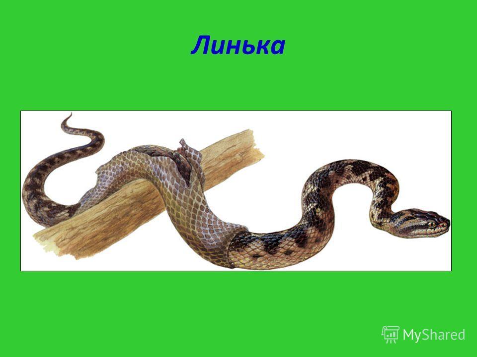 Линька