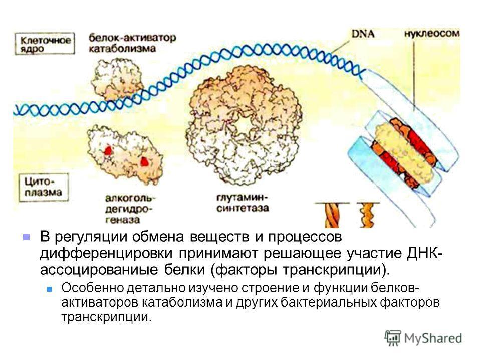 В регуляции обмена веществ и процессов дифференцировки принимают решающее участие ДНК- ассоцированиые белки (факторы транскрипции). Особенно детально изучено строение и функции белков- активаторов катаболизма и других бактериальных факторов транскрип