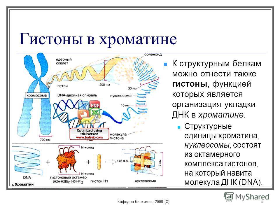 Кафедра биохимии, 2006 (C)5 Гистоны в хроматине К структурным белкам можно отнести также гистоны, функцией которых является организация укладки ДНК в хроматине. Структурные единицы хроматина, нуклеосомы, состоят из октамерного комплекса гистонов, на