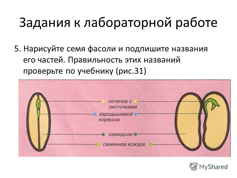 Задания к лабораторной работе 5. Нарисуйте семя фасоли и подпишите названия его частей. Правильность этих названий проверьте по учебнику (рис.31)