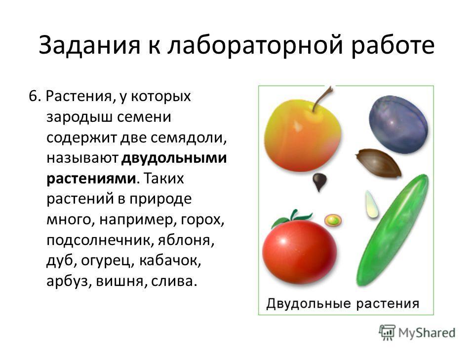 Задания к лабораторной работе 6. Растения, у которых зародыш семени содержит две семядоли, называют двудольными растениями. Таких растений в природе много, например, горох, подсолнечник, яблоня, дуб, огурец, кабачок, арбуз, вишня, слива.